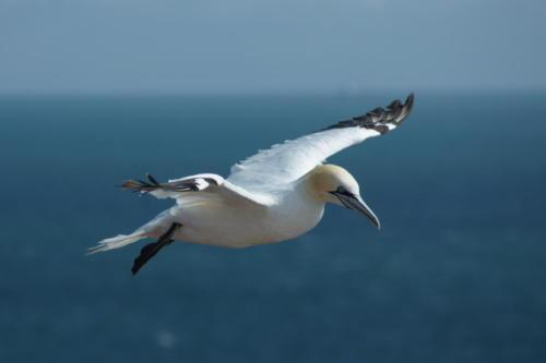Isla de Helgoland - Ave Morus Bassanus